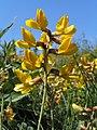 Calophaca wolgarica (ЧКУ) квіти.jpg