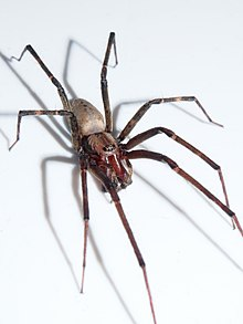 category spiders of new zealand wikivisually rh wikivisually com