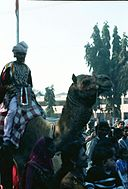 Camel with a fancy dress rider