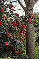Camellia japonica 'Rubescens Major' at RHS Garden Hyde Hall, Essex, England 04.jpg