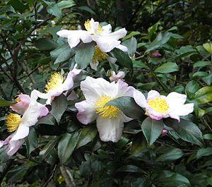 Zweige einer Teepflanze mit geöffneten Blüten.