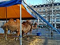 Camels, Place de la République, Paris 17 January 2018.jpg