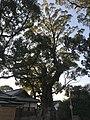 Camphor tree in Umi Hachiman Shrine.jpg