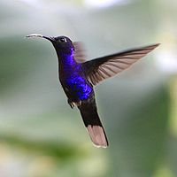 Campylopterus hemileucurus -Costa Rica -flying-8