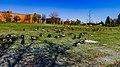 Canada goose (38347237484).jpg
