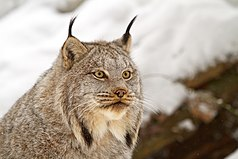 Close facial view of a Canada lynx showing long hair on the lower cheek and characteristic ear tufts
