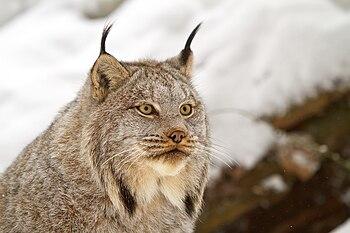 English: Canada lynx by Michael Zahra.