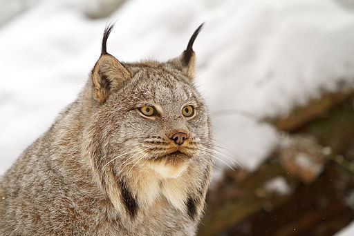 Canada lynx portrait by Michael Zahra