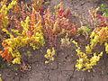 Canihua (Chenopodium pallidicaule) at Atuncolla near Sillustani Juliaca.jpg