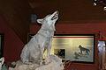 Canis Lupus Meridionalis imbalsamato presso il Museo e centro Visite del Cupone nel Parco Nazionale della Sila. Foto di Francesco Oliverio.jpg