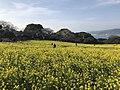Canola field in Nokonoshima Island Park 1.jpg