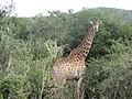 Cape Giraffe.jpg