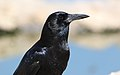 Cape crow, Corvus capensis, at Kgalagadi Transfrontier Park, Northern Cape, South Africa (35947035151).jpg
