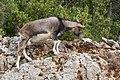 Capra aegagrus (Chèvre sauvage) - 59.jpg