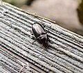 Carabidae Amara species (33454703460).jpg