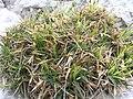 Carex firma1.JPG