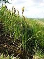 Carex praecox sl2.jpg