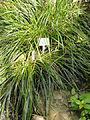 Carex solandri - Palmengarten Frankfurt - DSC01909.JPG