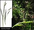 Carex sylvatica compilation.jpg