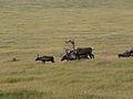 Caribou Shedding (9514243162).jpg