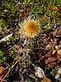 Carlina vulgaris 001.JPG