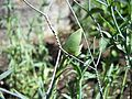 Carnation bud.JPG