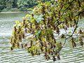 Carpinus betulus 08 ies.jpg
