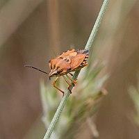 Carpocoris fuscispinus-Punaise des céréales-20160712 1.jpg