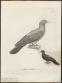 Carpophaga metallica - 1700-1880 - Print - Iconographia Zoologica - Special Collections University of Amsterdam - UBA01 IZ15600131.tif