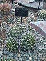 Caryophyllales - Acanthocalycium klimpelianum - kew 1.jpg