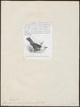 Casmarhynchus tricarunculatus - 1872 - Print - Iconographia Zoologica - Special Collections University of Amsterdam - UBA01 IZ16600175.tif
