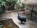 Cassowary Bird.jpg