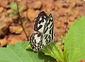 Castalius rosimon - Common Pierrot on the hostplant Ziziphus oenoplia - Jackal Jujube 04.JPG
