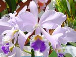 Cattleya warneri forma coerulea Do Suzuki.jpg