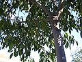 Celtis australis trunkandLeaves 2009November01 DehesaBoyaldePuertollano.jpg