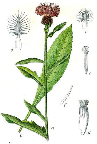 Centaurea nigra - Illustration