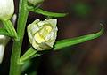 Cephalanthera damasonium - flower 01.jpg