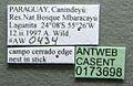Cephalotes pellans casent0173698 label 1.jpg