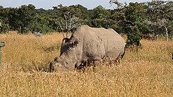 Ceratotherium simum cottoni -Ol Pejeta Conservancy, Kenya.jpg