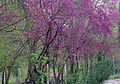 Cercis siliquastrum - Judas Tree 03.JPG