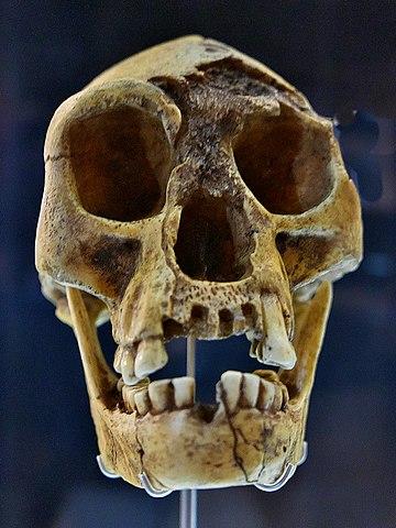 Cráneo de Homo floresiensis