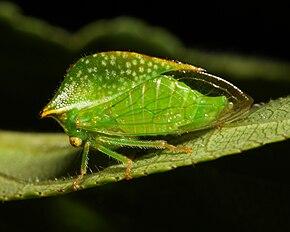 Insectes bien étranges   :  290px-Ceresa_taurina