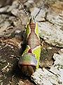 Cerura vinula (larva) - Puss moth (caterpillar) - Большая гарпия (гусеница) (29116714628).jpg