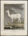 Cervus dama (var. alba) - 1700-1880 - Print - Iconographia Zoologica - Special Collections University of Amsterdam - UBA01 IZ21500152.tif