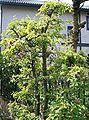 Chaenomeles sinensis4.jpg