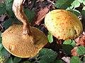 Chalciporus piperatus BS14 (2).JPG