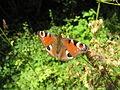 Chambrille Papillon.JPG