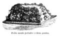 Champignon petite meule deux pentes Vilmorin-Andrieux 1904.png