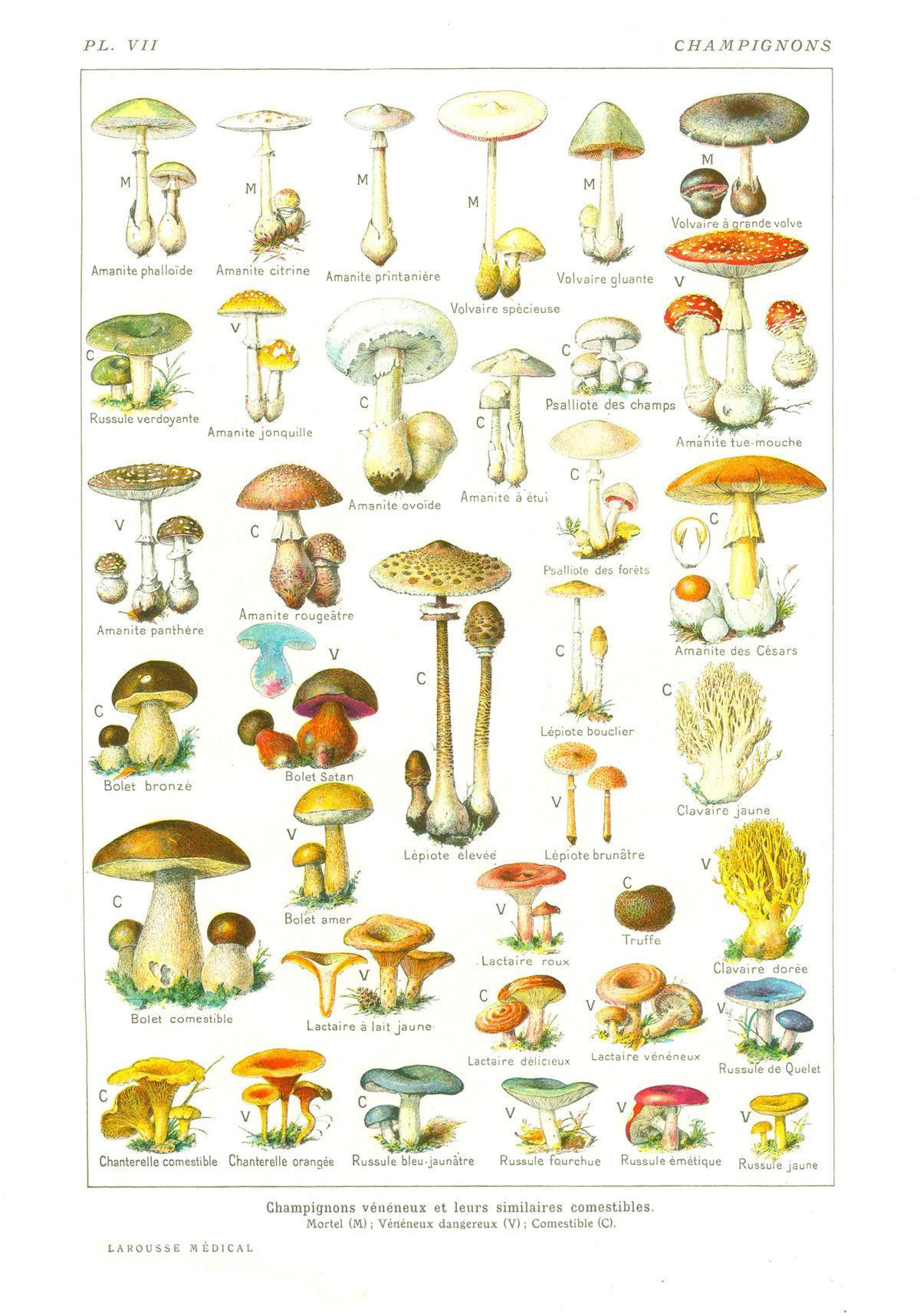 Champignon wikip dia - Comment nettoyer des champignons des bois ...