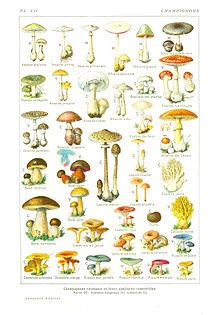 Champignon wikip dia - Dessin de champignons a imprimer ...